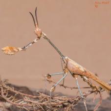 Wandering Violin Mantis (Gongylus gongylodes)