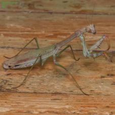 Mega Mantis (Plistospilota guineensis )