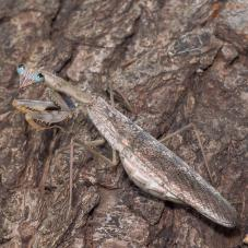 Madagascan Marbled Mantis