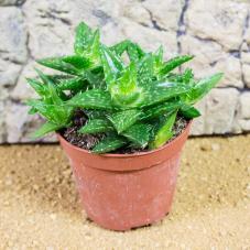 ProRep Live Plant - Socotra Aloe