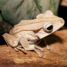Borneo Eared Tree Frog