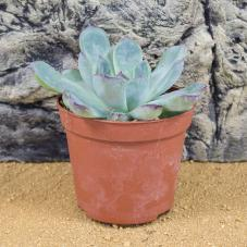 ProRep Live Plant - Mexican Firecracker