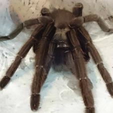 Cambodian Earth Tiger (Chilobrachys sp.