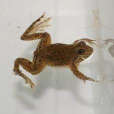 Green Puddle Frog (Occidozyga lima)