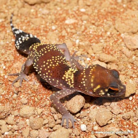 Australian Barking Gecko