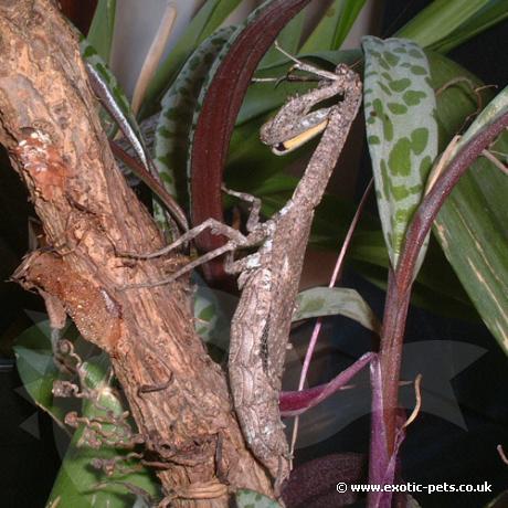 Twig Praying Mantis