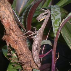 Twig Praying Mantis (Popa spurca)