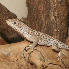 Leopard Lizard (Gambelia wislizenii)