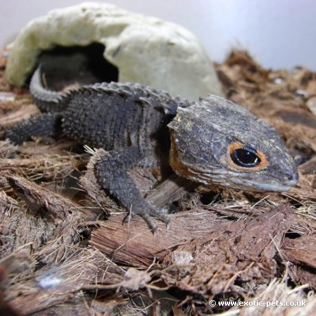 Red Eyed Crocodile Skink Tribolonotus Gracilis