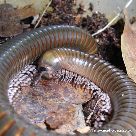 Millipede With Long Legs Long Legged Mil...