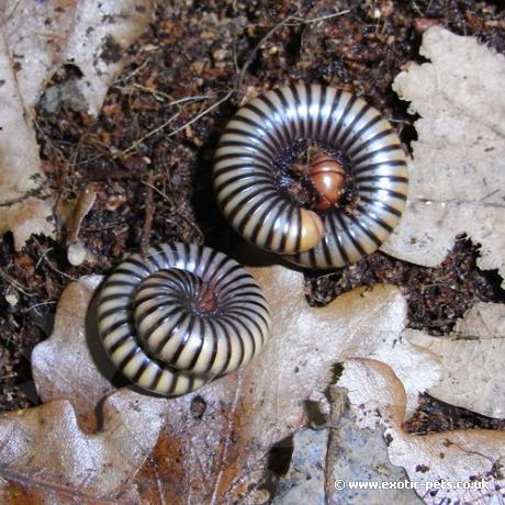 Tri Colour Millipede