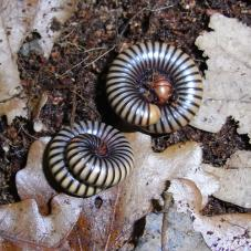 Tri Colour Millipede (Unknown species)