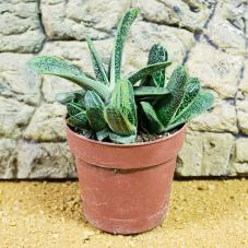 ProRep Live Plant - Warty Gasteria