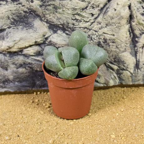 ProRep Live Plant - Living Stone