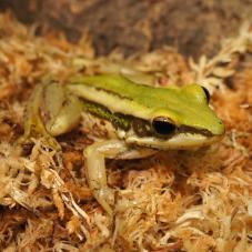 Green Cascade Frog (Rana livida)