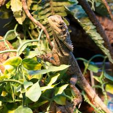 Frilled Neck Dragon
