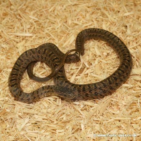 Dione Rat Snake
