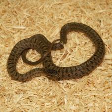 Dione Rat Snake (Elaphe dione)