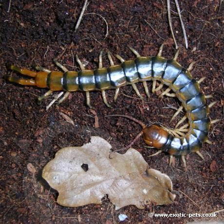 Amazon Centipede
