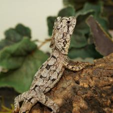 Frilled Neck Dragon (Chlamydosaurus kingii)