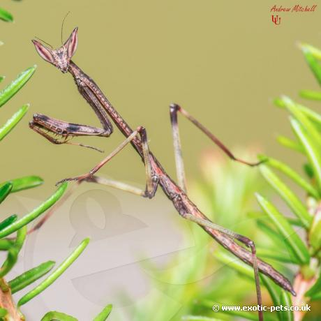 African Giant Stick Mantis