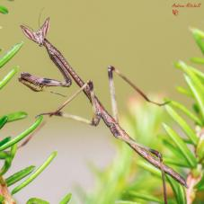 African Giant Stick Mantis (Heterochaeta orientalis)