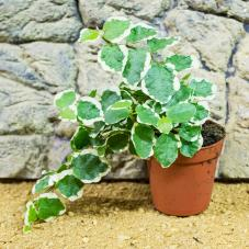 ProRep Live Plant - Creeping Fig