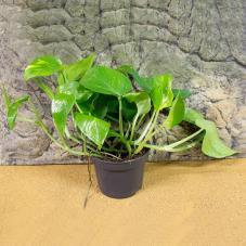 ProRep Live Plant - Devils Ivy (Epipremnum aureum)