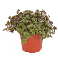 ProRep Edible Plant - Turtle Vine (Callisia repens)