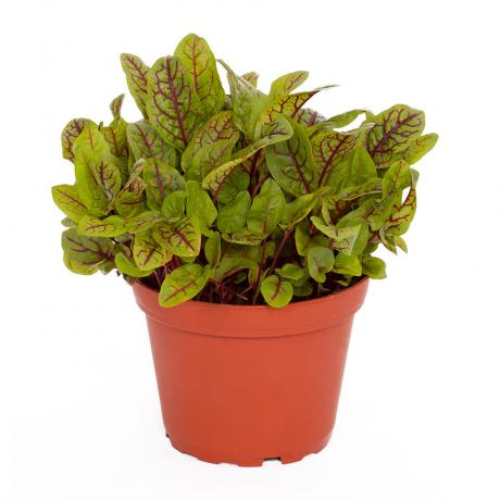 ProRep Edible Plant - Red Veined Sorrel