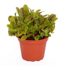 ProRep Edible Plant - Red Veined Sorrel (Rumex species)