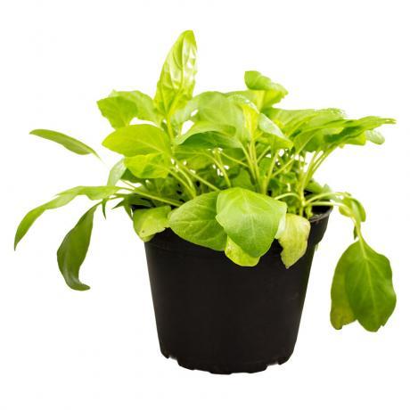 ProRep Edible Plant - Selfheal