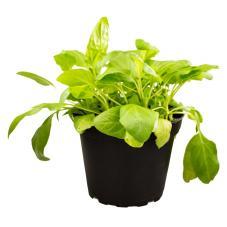 ProRep Edible Plant - Selfheal (Prunella vulgaris)