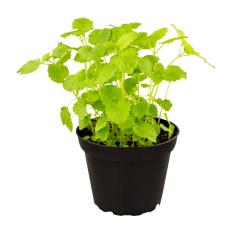 ProRep Edible Plant - Lemon Balm