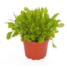 ProRep Edible Plant - Dandelion