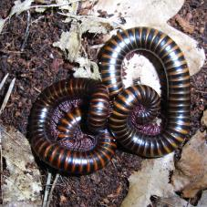 Barbados Banded Millipede (Unknown species)