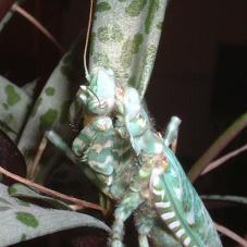 Thistle Mantis (Blepharoppsis mendica)