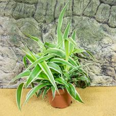 ProRep Live Plant - Spider Plant (Chlorophytum comosum)