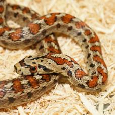 Leopard Snake (Zamenis situla)