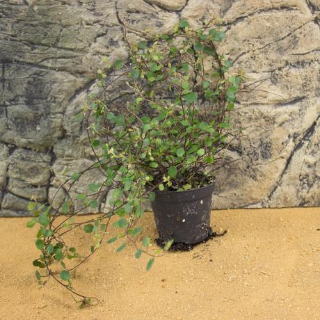 ProRep Live Plant - Maidenhead Vine