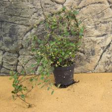 ProRep Live Plant - Maidenhead Vine (Muehlenbeckia complexa)