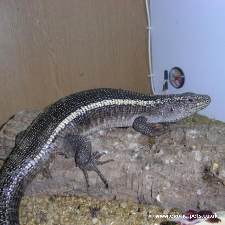 Giant Plated Lizard