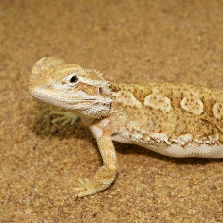 Dragons and Agamas for sale, buy Dragons and Agamas online at Exotic