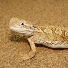 Rankins Dragon (Pogona henrylawsoni)