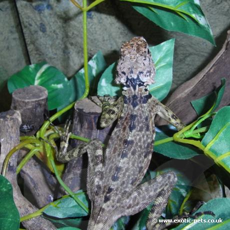 Collard Tree Lizard