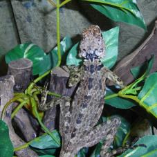 Collard Tree Lizard (Plica plica)
