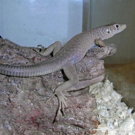 Jayakars Oman Lizard