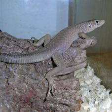 Jayakars Oman Lizard (Omanosaura jayakari)
