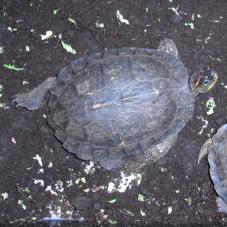 South American Wood Turtle (Rhinoclemmys punctularia)