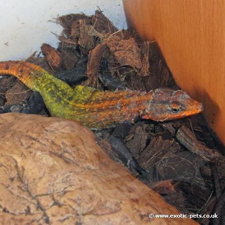 Emperor Flat Rock Lizard